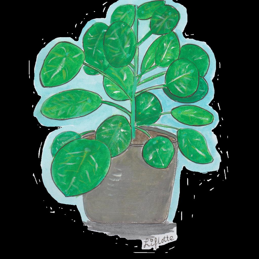 Liflotte pannenkoekplant los PNG